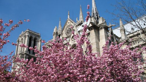 Cherry Blossoms in front of Notre Dame